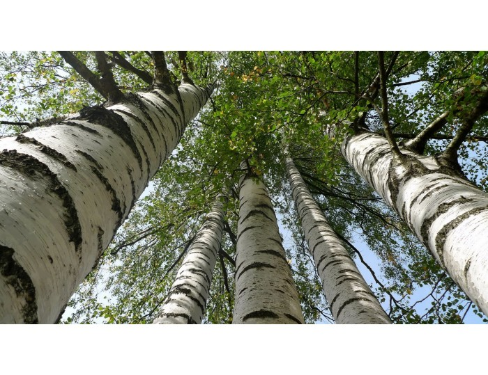 Tablou canvas copaci - natura cod 0033